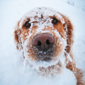 A closeup photo of a Golden Labrador looking into the camera with its fur covered in snow.